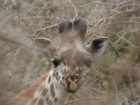 Infant Giraffe